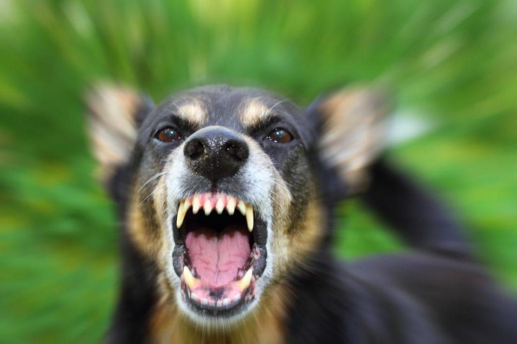 Bị chó cắn bao lâu thì phát bệnh dại?