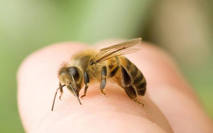 bị ong đốt bôi gì